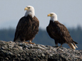 See majestic Bald Eagles, Sea Lions, whales on Deep Bay boat tours, Vancouver Island, BC