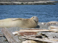 Boat eco tours gently glide by sunbathing sea lions for a close up view Vancouver Island