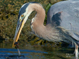 See Great Blue Herons catching fish in the shallows on your Deep Bay boat tour