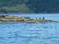 Wildlife viewing, birding, whale watching tours, Vancouver island, BC