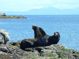 Sea Lion viewing, sightseeing, wildlife photography boat tours, north of Nanaimo, BC